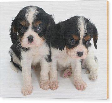 Spaniel Puppies Wood Print by Jane Burton