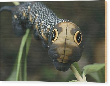 Sphinx Moth Caterpillar Inflating Wood Print by Darlyne A. Murawski