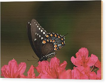 Spice Bush Swallowtail And Azaleas Wood Print by Lara Ellis
