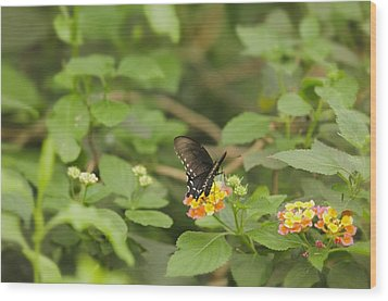 Wood Print featuring the photograph Spicebush Swallowtail Butterfly On Lantana Shrub Verbena by Marianne Campolongo