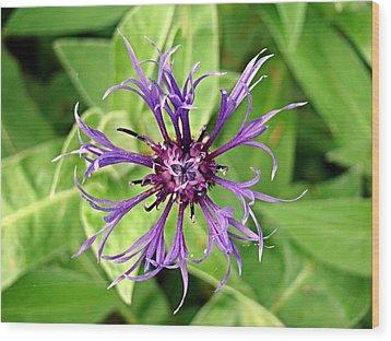 Spider Flower Wood Print by Nick Kloepping