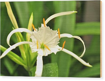 Wood Print featuring the photograph Spider Lily  by Puzzles Shum