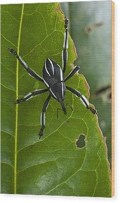 Spider Weevil Papua New Guinea Wood Print by Piotr Naskrecki