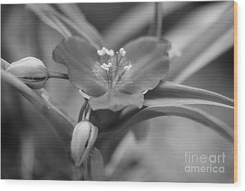 Spiderwort In Black Wood Print by Brooke Roby