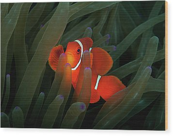 Spinecheek Anemonefish Wood Print by Alastair Pollock Photography