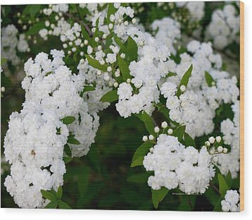 Wood Print featuring the photograph Spirea Blooms by Maria Urso