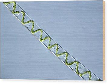 Spirogyra Algae, Light Micrograph Wood Print by Frank Fox
