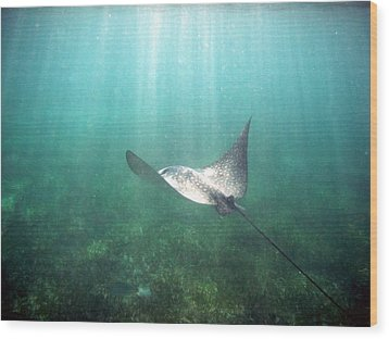 Wood Print featuring the photograph Spotted Eagle Ray by David Wohlfeil