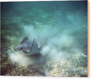Wood Print featuring the photograph Spotted Eagle Ray Feeding by David Wohlfeil