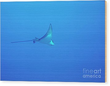 Spotted Eagle Ray Wood Print by Sami Sarkis