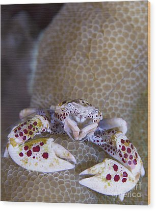 Spotted Porcelain Crab Feeding Wood Print by Steve Jones