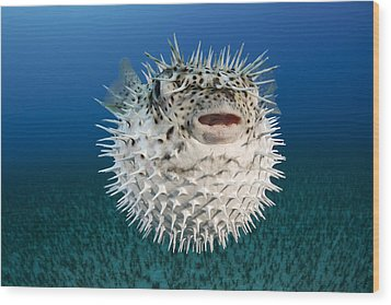 Spotted Porcupinefish IIi Wood Print by Dave Fleetham
