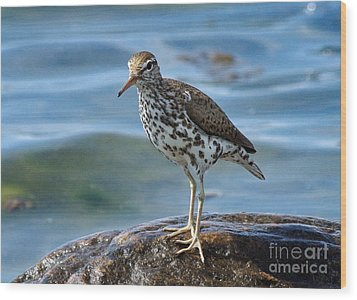 Spotted Sand Piper 6 Wood Print by Andrea Kollo