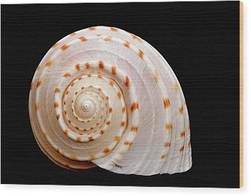 Spotted Sea Snail Shell Wood Print by Michael Smith Photography/Studio One Pensacola