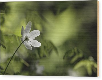 Spring Anemone Wood Print by Ulrich Kunst And Bettina Scheidulin