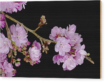 Spring Cherry Blossoms 2 Wood Print by Barnaby Chambers