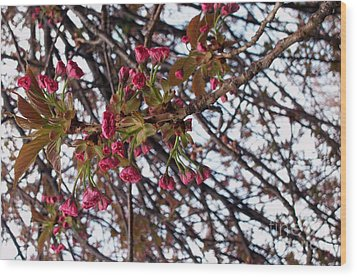 Spring Cherry Blossoms Wood Print by Rayofra Ra