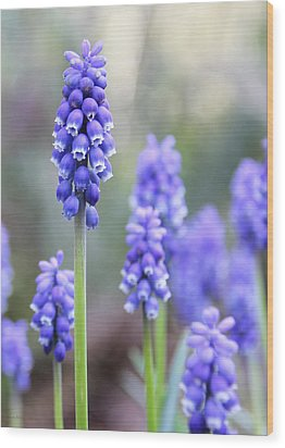 Spring Grape Hyacinth Flowers Wood Print by Jennie Marie Schell