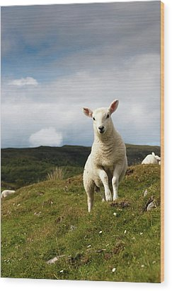 Spring Lamb On Hillside Wood Print by Kevin Day