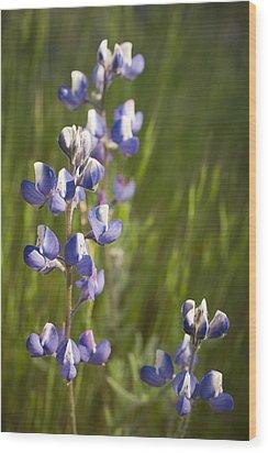 Spring Lupines  Wood Print by Priya Ghose