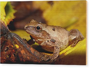 Spring Peeper On Fall Leaves Wood Print by Griffin Harris