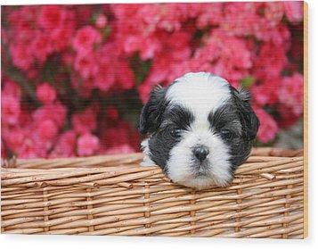 Spring Puppy  Wood Print by Darren Fisher