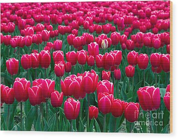 Spring Tulips Wood Print by David R Frazier and Photo Researchers