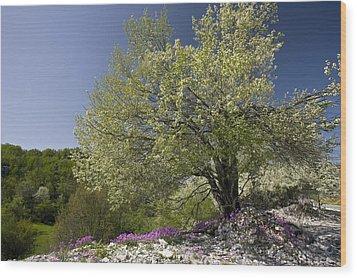 St Lucie Cherry Tree (prunus Mahaleb) Wood Print by Bob Gibbons