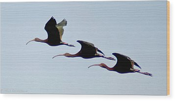 Stacked Ibis Wood Print by Mitch Shindelbower