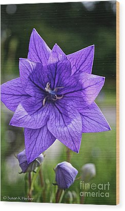 Star Balloon Flower Wood Print by Susan Herber