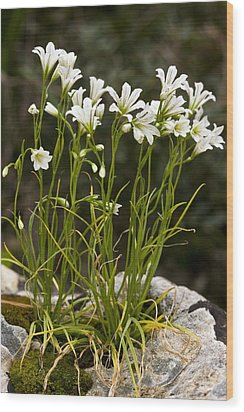 Star-of-bethlehem (gagea Graeca) Wood Print by Bob Gibbons