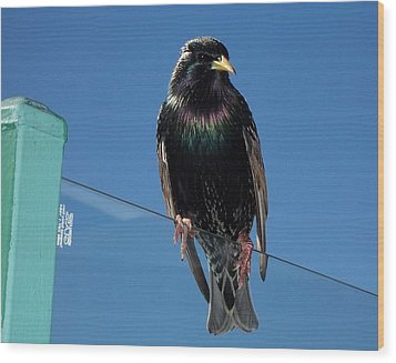 Wood Print featuring the photograph Starling At Santa Monica Pier by Peter Mooyman