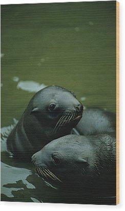 Steller Sea Lion Pups Eumetopias Wood Print by Joel Sartore