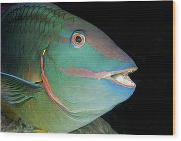 Stoplight Parrotfish Wood Print by Clay Coleman