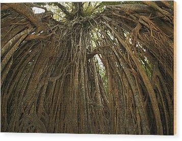Strangler Fig Tree, Ficus Virens, Known Wood Print by Tim Laman