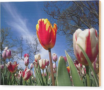 Strato Cirrus Clouds Greet The Tulips  Wood Print by Don Struke