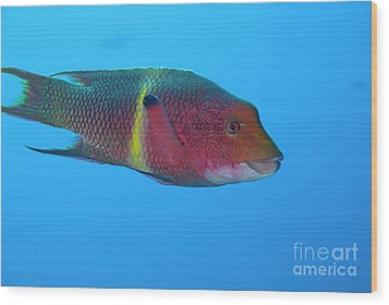 Streamer Hogfish Or Mexican Hogfish Wood Print by Sami Sarkis
