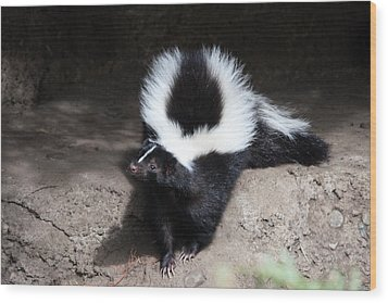 Striped Skunk - 0002 Wood Print by S and S Photo