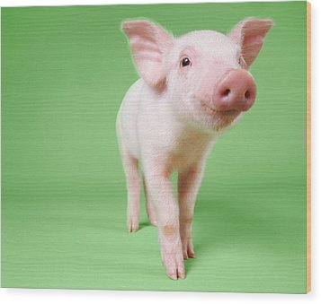 Studio Cut Out Of A Piglet Standing Wood Print by Digital Vision.