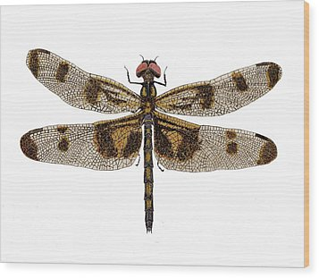 Study Of A Banded Pennant Dragonfly Wood Print