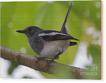 Wood Print featuring the photograph Study Of A Magpie-robin by Fotosas Photography