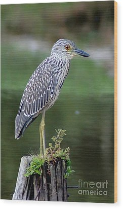 Stumped Night Heron Wood Print by Benanne Stiens