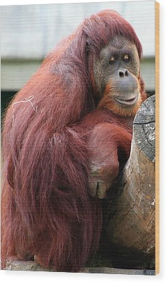 Sumatran Orangutan Wood Print by Laurel Talabere