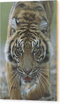 Sumatran Tiger Panthera Tigris Sumatrae Wood Print by Zssd