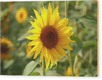 Sun Flower Wood Print by Coby Cooper