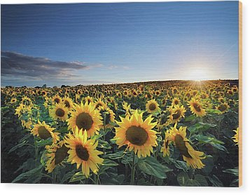 Sun Setting Over Sunflower Field Wood Print by Andreas Jones