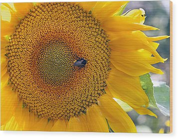 Sunflower And A Bumblebee Wood Print by Aleksandr Volkov