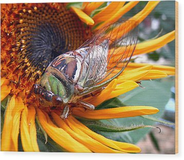 Sunflower And Insect  Wood Print by Jon Baldwin  Art