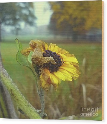 Sunflower At Summers End Wood Print by Jeff Breiman
