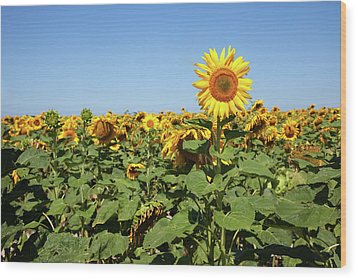 Sunflower Wood Print by Billy Currie Photography